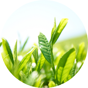 Tea leaf extract